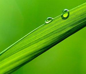 gras blad fotosynthese